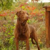 Cooper, our Chesapeake Bay Retriever