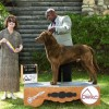 Chesapeake Bay Retriever - Cooper