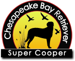 Chesapeake Bay Retriever | Super Cooper Stud for puppies Wisconsin, Minnesota, Michigan. Kentucky, Kansas