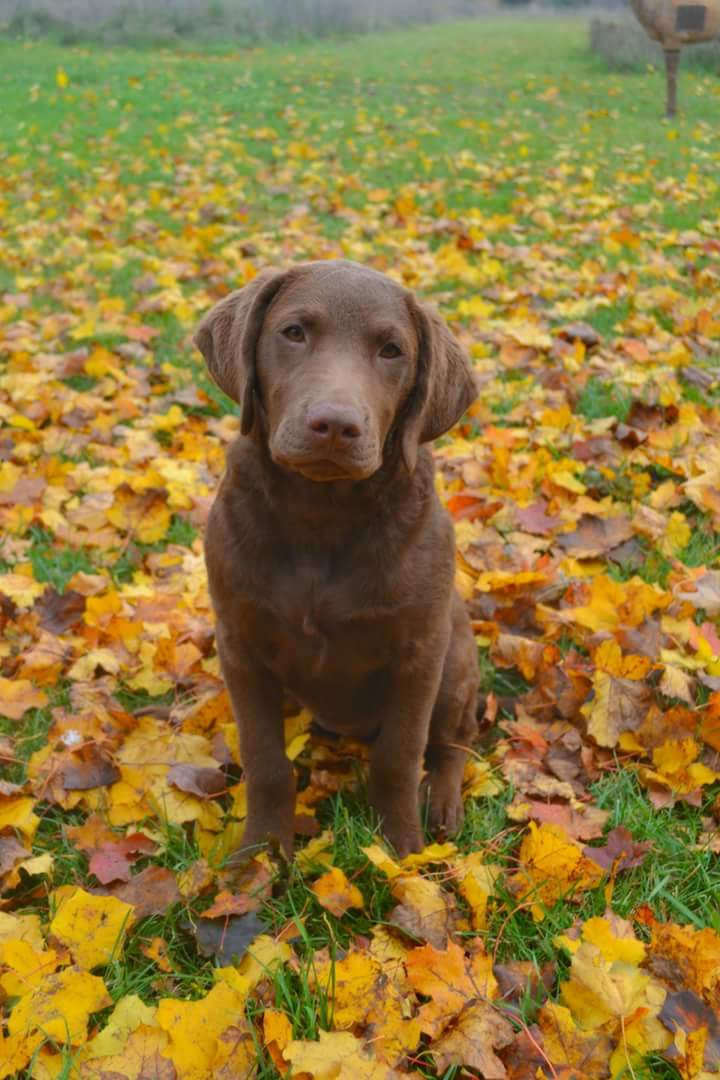 The Chesapeake Bay Retriever Cooper S Kids Chessie Stud